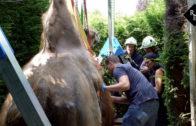 Reddingsactie voor kameel Drommie in Hedikhuizen